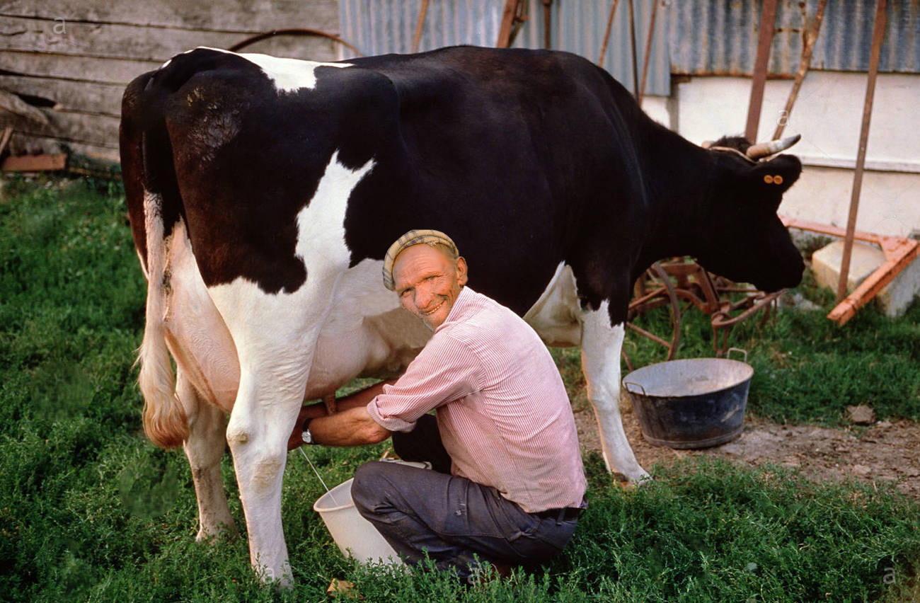 how to milk the cow