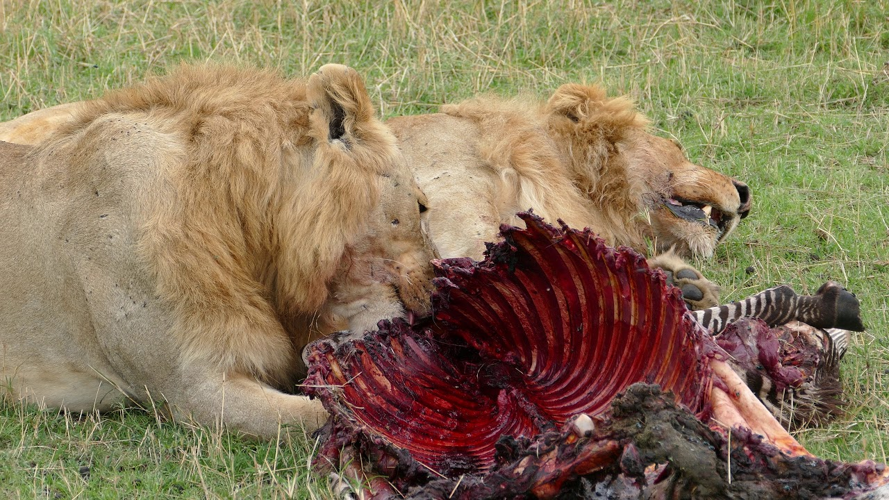 Image result for two lions eating