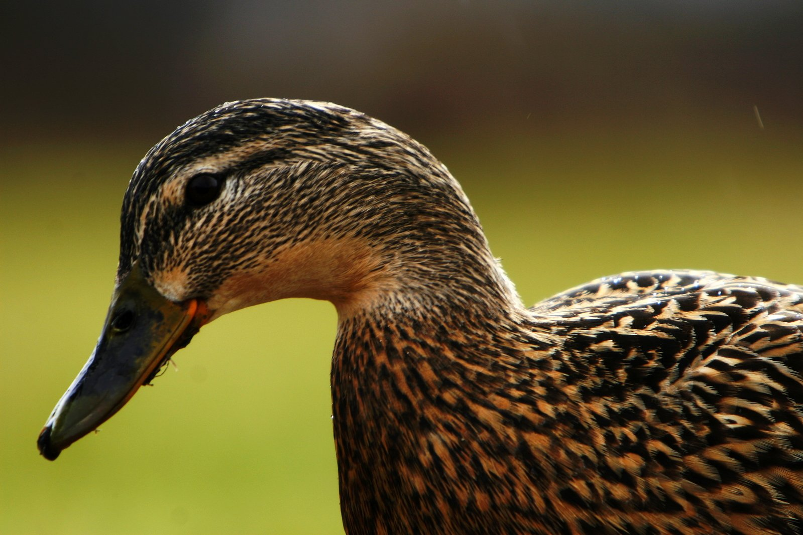 A sad-looking duck