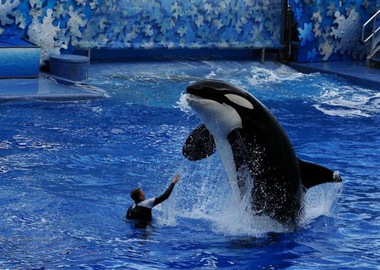 a whale jumping out of a tank at the request of a trainer