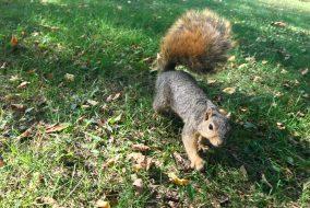 Squirrel walking on grass